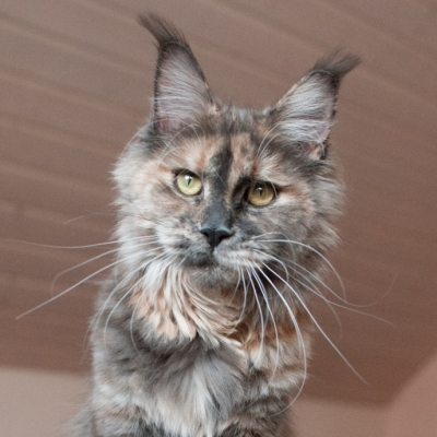 Maine-Coon_Cheerfulracer-Rose-A-Lee_2429_11m