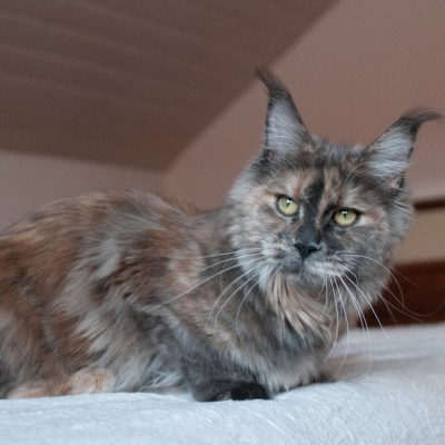 Maine-Coon_Cheerfulracer-Rose-A-Lee_2454_11m