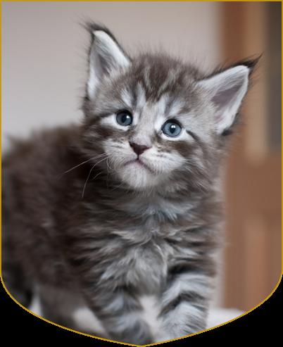 Cheerful Racer Maine Coon Kitten